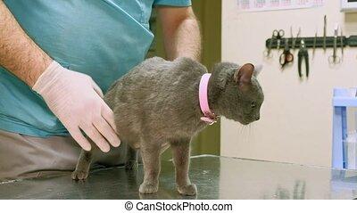veterinarian examines a cat