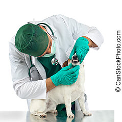 Veterinarian examines the dog's teeth on white background