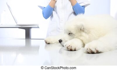 Veterinarian examining dog on table in vet clinic, and uses the computer