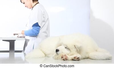 Veterinarian examining dog on table in vet clinic, and uses the digital tablet