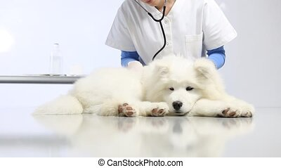 Veterinarian examining dog on table in vet clinic. exam of heart, teeth, ears , fur and paw