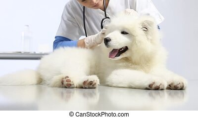 Veterinarian examining dog on table in vet clinic. exam of teeth, ears , fur and paw