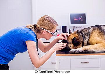 Veterinarian examining German Shepherd dog with sore eye....