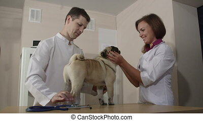 Veterinarian Examining Pug Dog