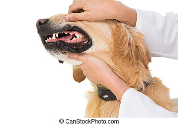 Veterinarian examining teeth of a cute dog on white...