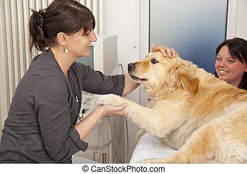 veterinarian fondling dog - A veterinarian fondling a golden...