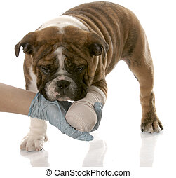 veterinarian hand holding wounded paw of english bulldog puppy