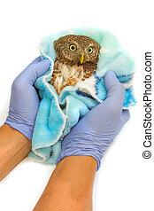 veterinarian holding Asian Barred Owlet (Glaucidium...
