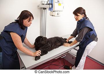 veterinarian preparing dog - A veterinarian preparing a dog...