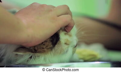 CLOSE UP. Hands of groomer holding and shaving domestic grey cat with hair trimmer. Light green blurred background.