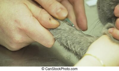 Veterinarian takes the blood from the cat. - Procedure to...