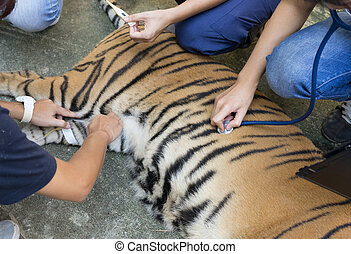 veterinarian treat the tiger in a zoo