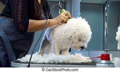 Veterinarian trimming a dog Bichon Frise with a hair clipper in a vet clinic.