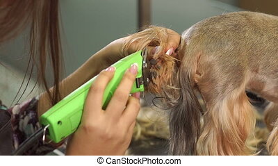 Veterinarian trimming a yorkshire terrier with a hair clipper in a vet clinic.