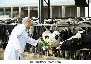 Veterinarian with cows in livestock farm - Mature ...
