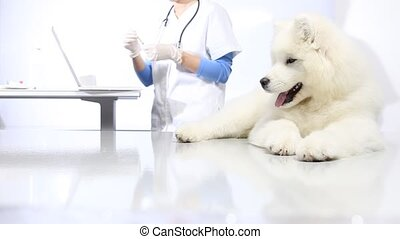 veterinarian with syringe making vaccine injection to dog at...