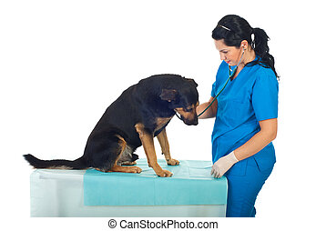 Veterinary assessing dog - Veterinary woman assessing dog on...