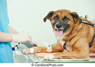 Veterinary blood test examination of the dog - veterinarian...