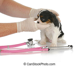 veterinary care - cavalier king charles spaniel puppy being...