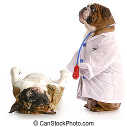 veterinary care - animal obesity - bulldog dressed up as...