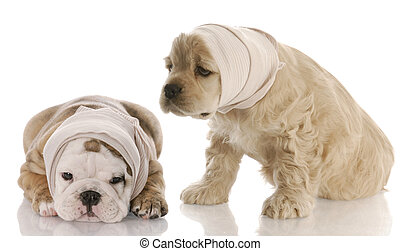veterinary care - english bulldog american cocker spaniel...