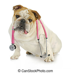 veterinary care - english bulldog with stethoscope around...