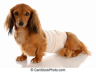 veterinary care - miniature dachshund with medical bandage around waist