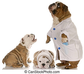 veterinary care - bulldog doctor helphing two puppy patience...