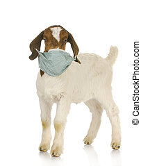 veterinary care - farm veterinary care - south african goat...