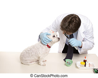 Veterinary checkup - A maltese terrier receives a checkup at...