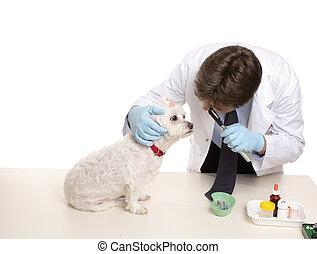 Veterinary checkup - A maltese terrier receives a checkup at...