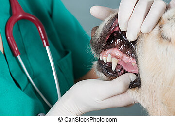 Veterinary clinic - Veterinary performing a dental...