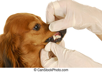 veterinary examination - dachshund getting teeth examined by...