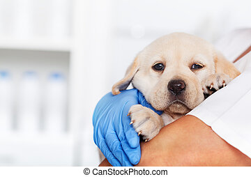 Veterinary healthcare professional holding a cute labrador puppy dog