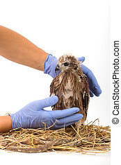 Veterinary holding young Sea-eagle prepare to examination