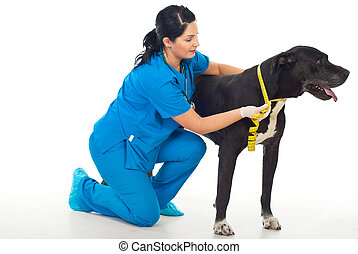 Veterinary woman measuring great Dane neck with centimeter