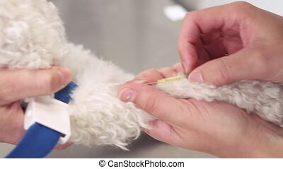 Veterinary placing intravenous line through a peripheral ...