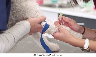 Veterinary placing intravenous line through a peripheral catheter. Dog in veterinary clinic. Pet health care in veterinary clinic .