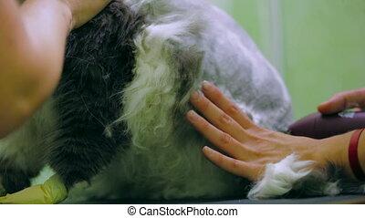 Veterinary procedure - Cat during a veterinary procedure