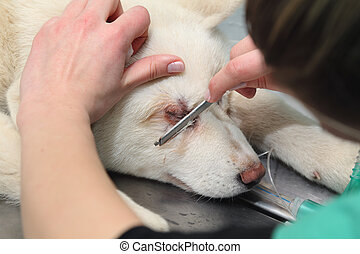 Veterinary - Shaving of dog eyelids before veterinarian...