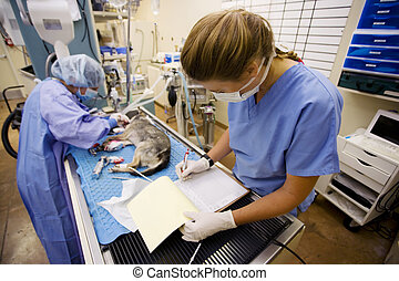 Veterinary Surgery - Female veterinarians perform surgery on...