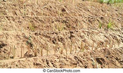 Vetiver Gras in Desert - Vetiver-Gras plants