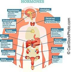 vetorial, corpo humano, hormônios, ilustração, diagrama
