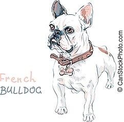 vetorial, esboço, cachorro doméstico, buldogue francês, raça