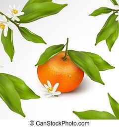 vetorial, flor, floral, realístico, cítrico, tangerina, folhas, florescer, pattern., isolado, ilustração, água, experiência., fruta, verde, ramo, mandarin, branca, gotas, ou