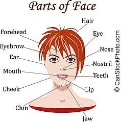 vetorial, illustration., vocabulário, partes, rosto, lessons.