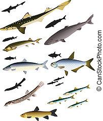 vetorial, imagens, de, peixe