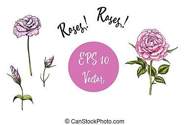 vetorial, jogo, de, roses., isolado, vetorial, ilustração, branco, experiência.