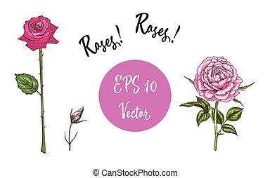vetorial, jogo, de, roses., isolado, vetorial, ilustração, branco, fundo