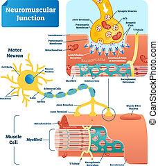 vetorial, junção, neuromuscular, ilustração, célula, etiquetado, infographic, scheme.
